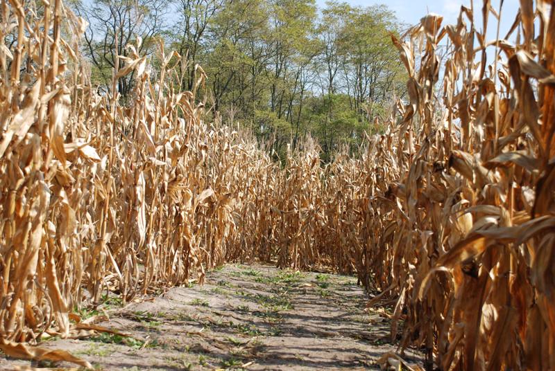 Colorado corn maze