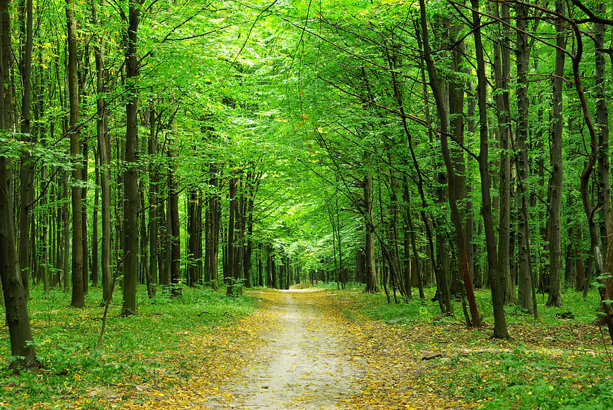 beautiful green forest in summer.jpg