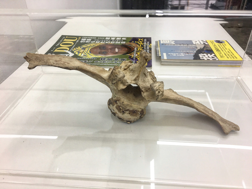 Cow's lumbar vertebrae bone 2015