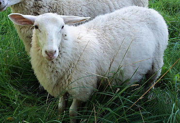 upper-crust-sheep1_1_orig.jpg