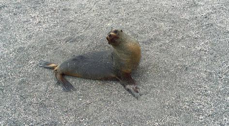 Sealion - Galapagos