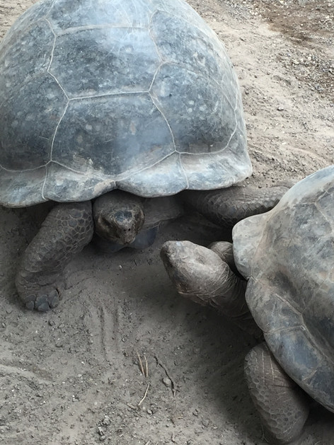 Galapagos Turttle, endemic species from the islands