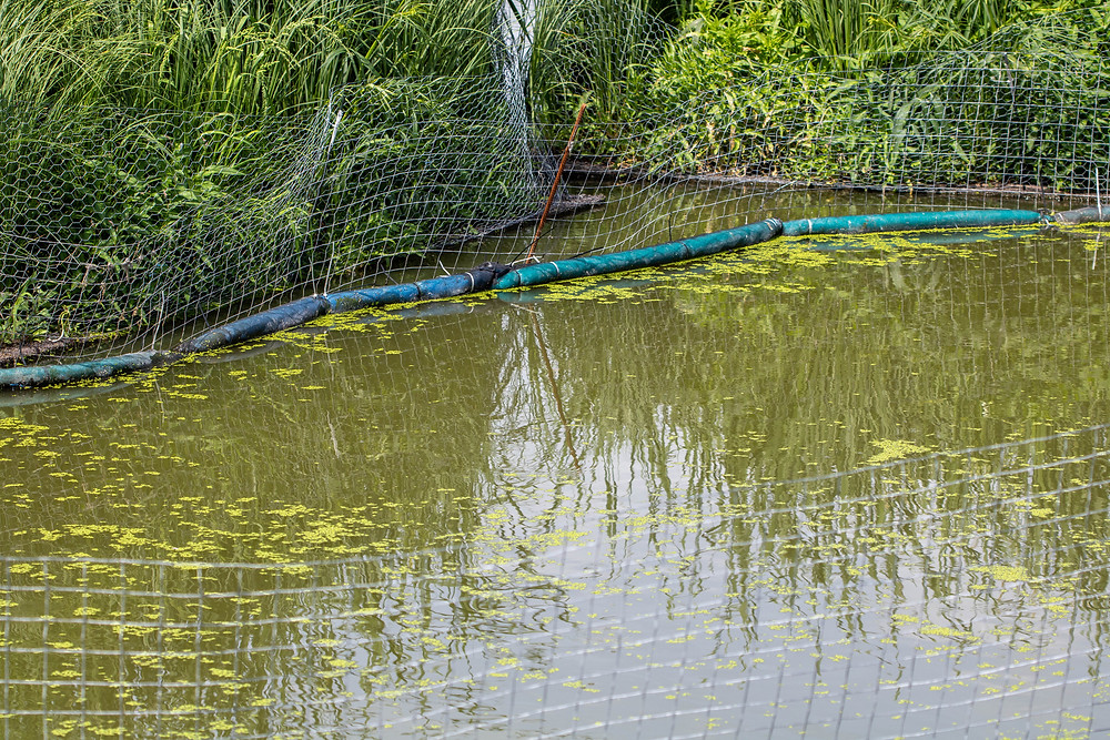 Netted plants growing on top of a pond in Dunnottar naturally pull phosphorus from the water.