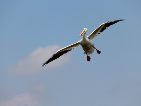 Manitoba: a pelican paradise?
