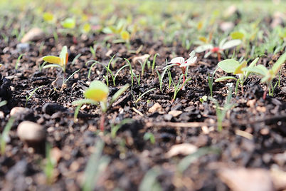 Soil with Sprouting Plants