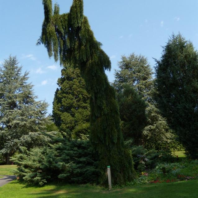Séquoia géant pleureur