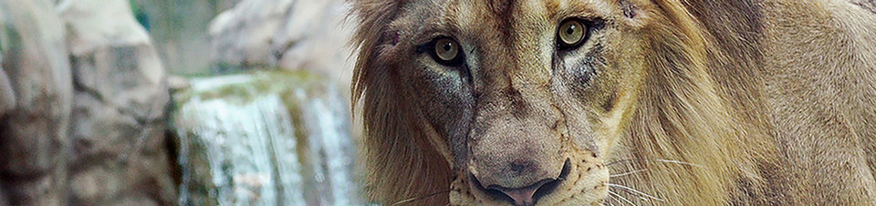 cincinnati_zoo_lion.jpg