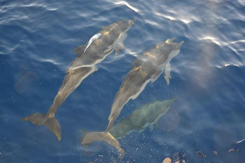 Dauphins en Corse