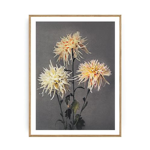 Chrysantemum 2
