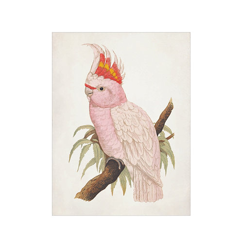 Cockatoo pink