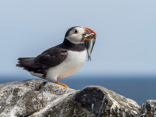 April In-Flight Entertainment - Practising for Puffins on May