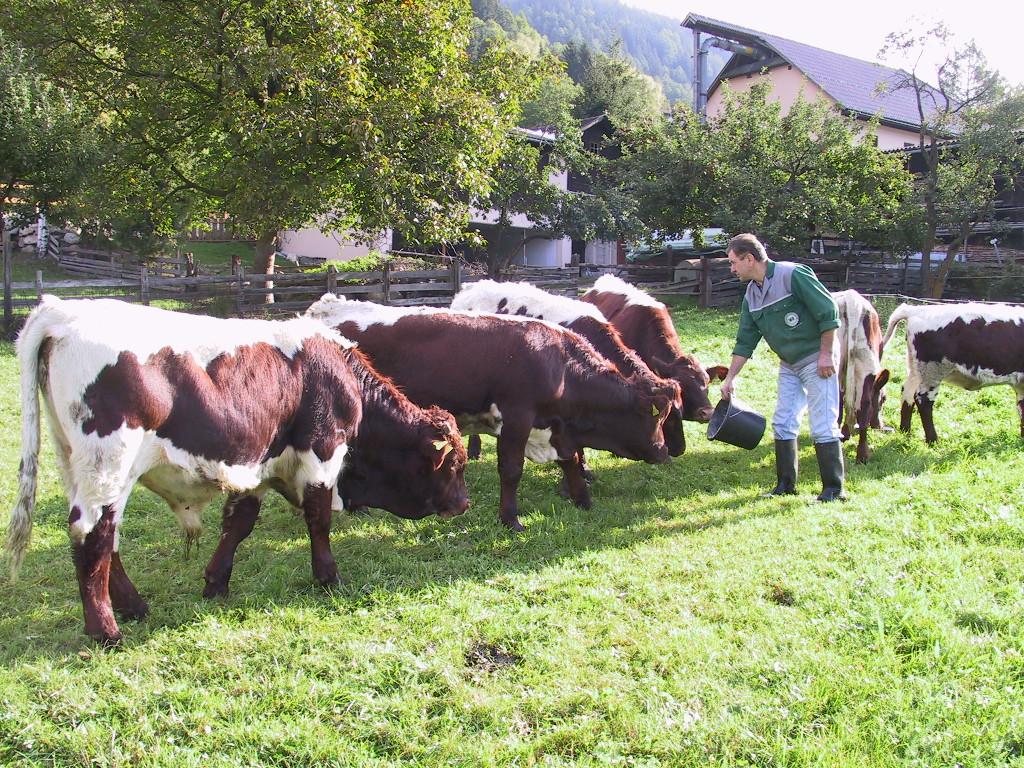 Kühe füttern am Biobauernhof Auernig