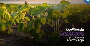 Fertilización fosfatada en la rotación de arroz y soja