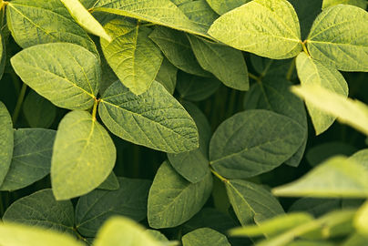 green-leaves-of-soybean-plant-agricultur