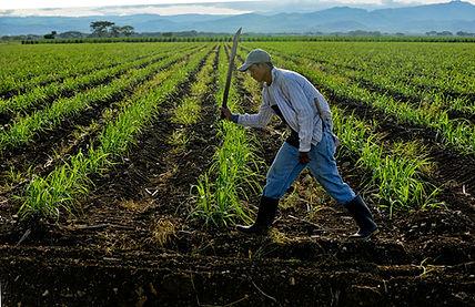 replante-canha-azúcar-siembra-hombre-campo