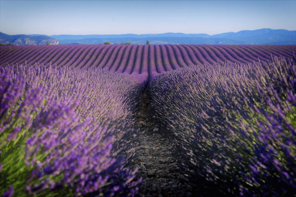 champs lavande sillons.jpg