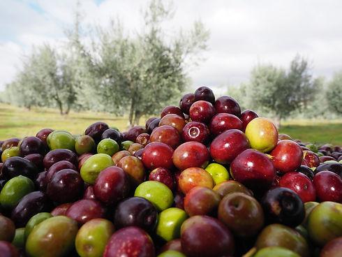 recolte-olive-2020-web.jpg