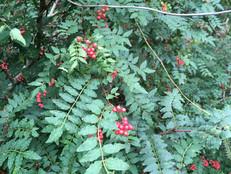 野生の山椒の完熟紅実