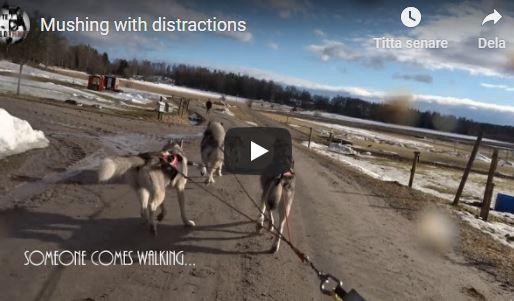 Mushing with distractions