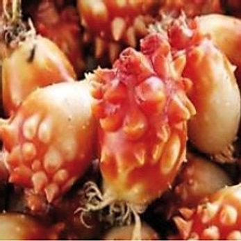 Sashimi de Piure
