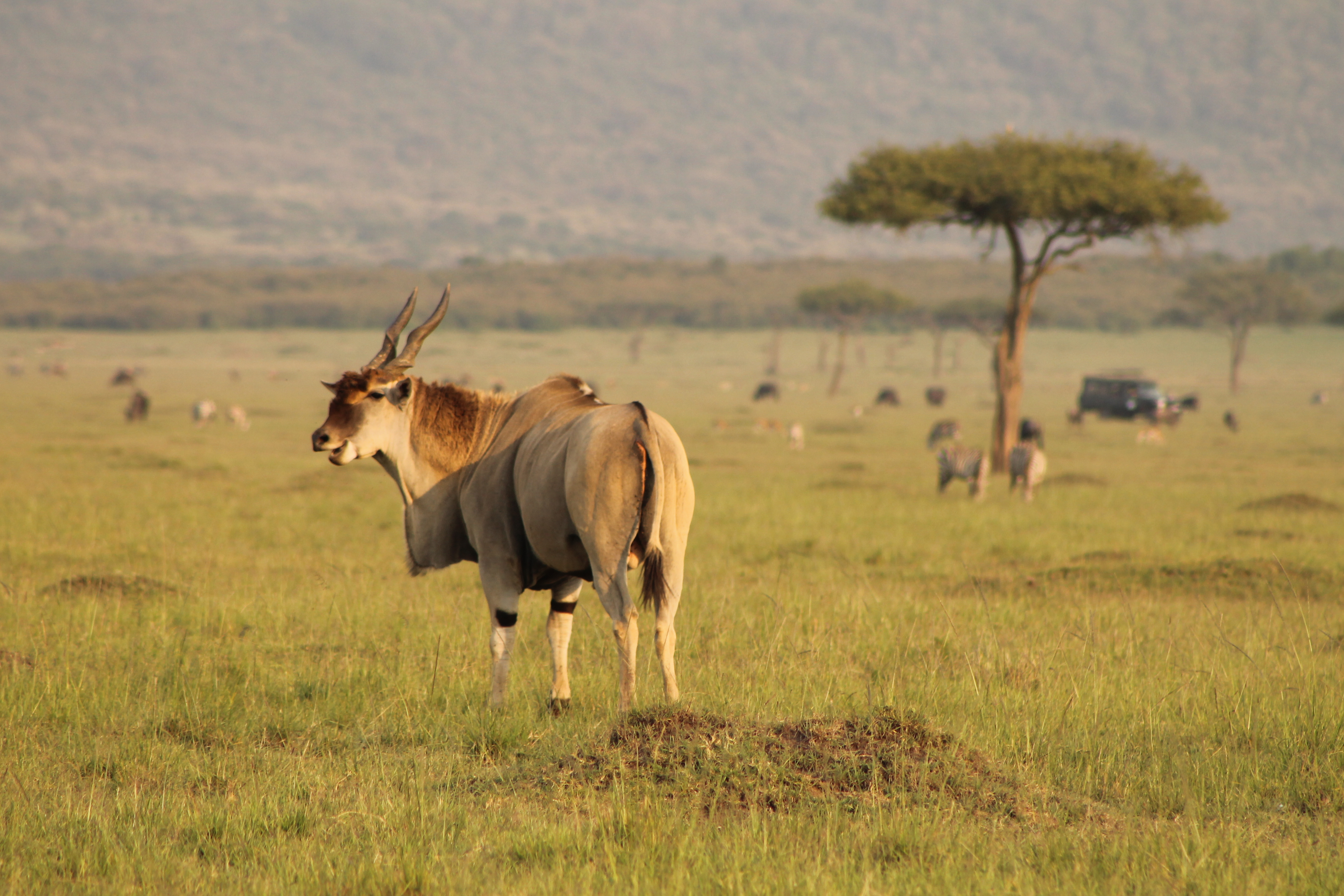Eland on the plains