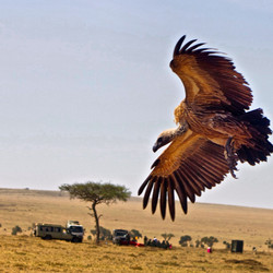 Vulture hovering