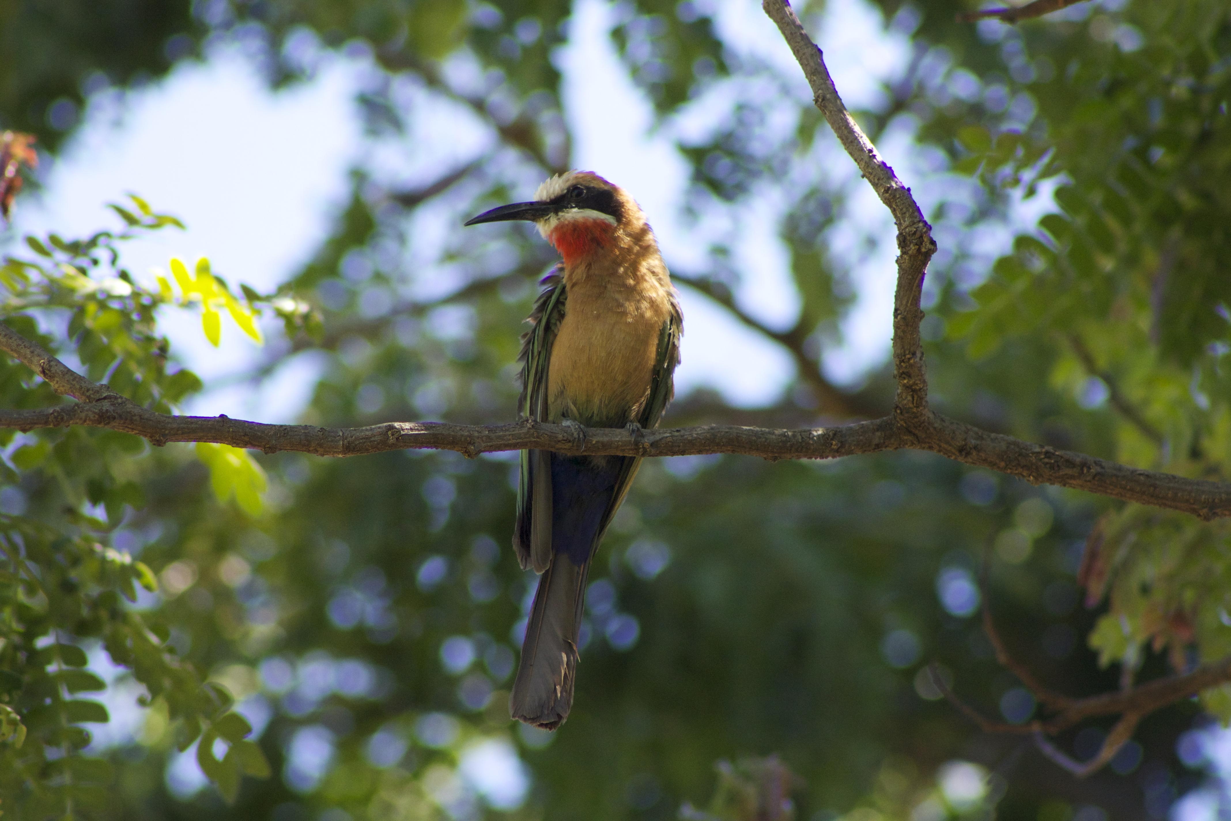 Resident bee-eater