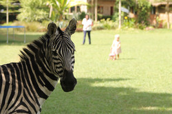 Zebra in the garden