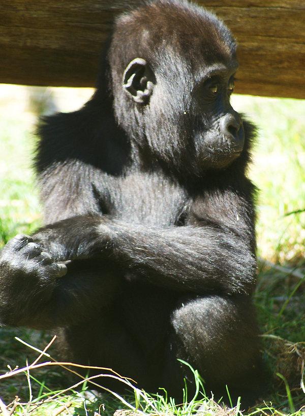GorillaInfant.jpg