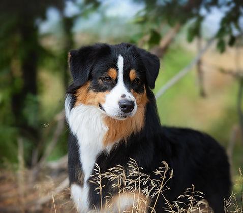 Australian Shepherd puppies Denver Colorado