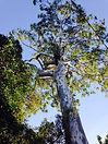 Safe Tree Removal of large Gum Tree - Redlands