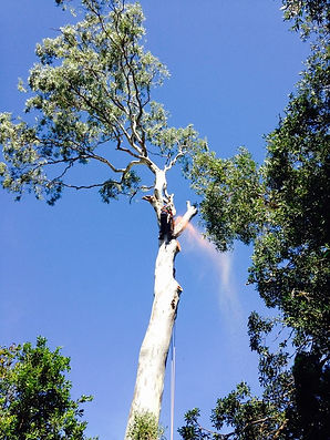 With Council approval large Gum Trees were to be completely removed.