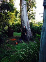 Gum Tree Removal - Redlands Area