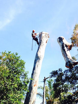 Rochedale Gum Tree Removal - x4 large trees