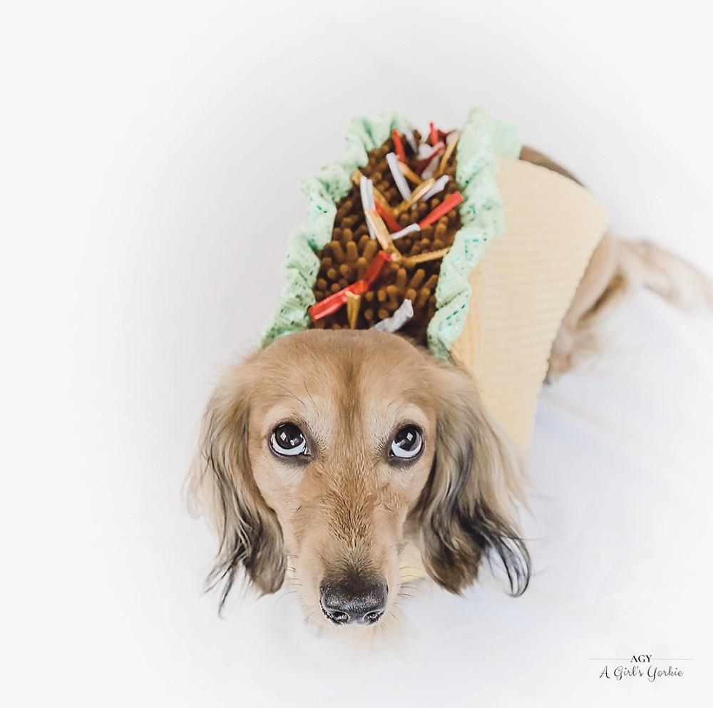 Dog in taco Halloween costume