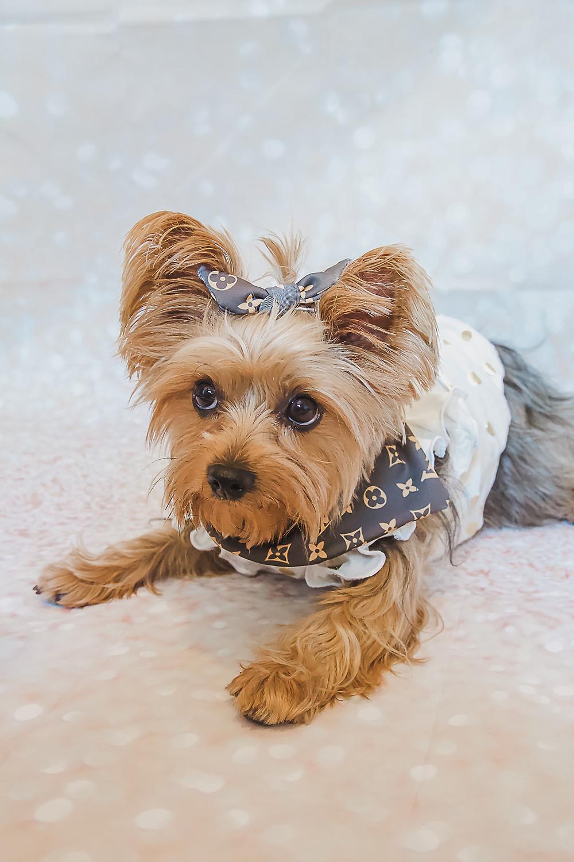 Dog wearing high end bandana and bow for dog Christmas gift ideas