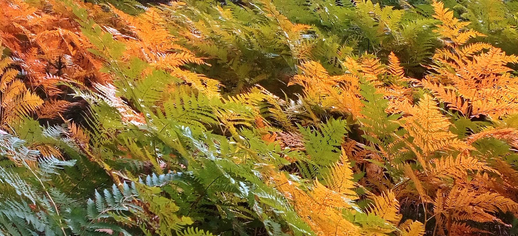 kapradi podzim.jpg