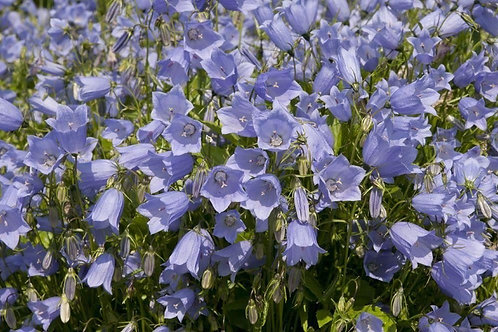 Campanula - Advance Blue