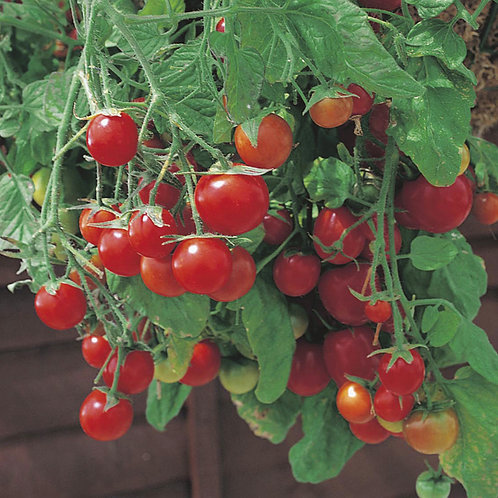 Tomato - Tumbling Tom Red