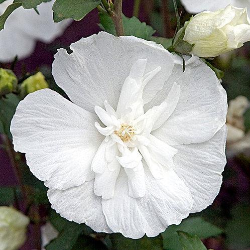 Hibiscus - White