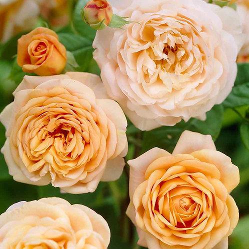 Rose - Climbing Compassion
