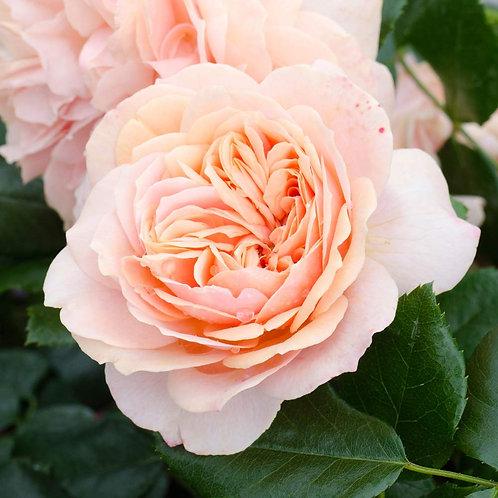 Rose -Joie de Vivre