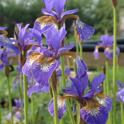 Iris Tropic Night