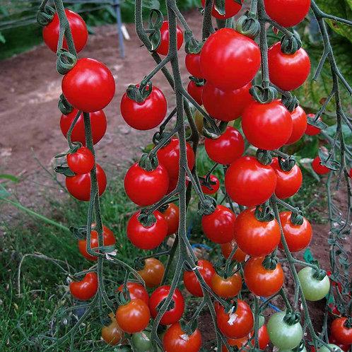 Tomato - Sweet Aperitif
