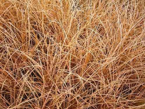 Carex Flagellifera Auruga