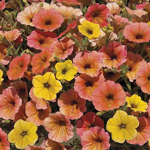 Petunia Cascadia Indian Summer