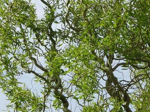 Salix Tortuosa