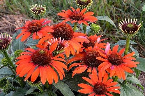 Echinacea Lakota Orange Soft
