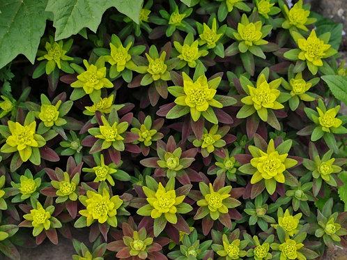 Euphorbia Polychroma Purpurea