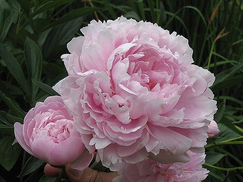 Paeonia (Peony) Pink Double